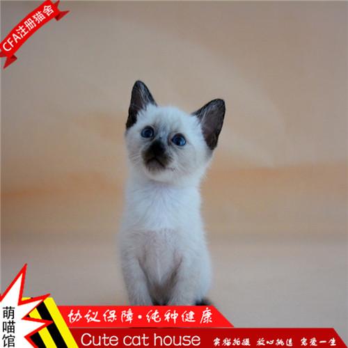 暹罗猫活体淡紫色幼猫纯种泰国猫皇室短毛猫家养宠物小猫咪迷你