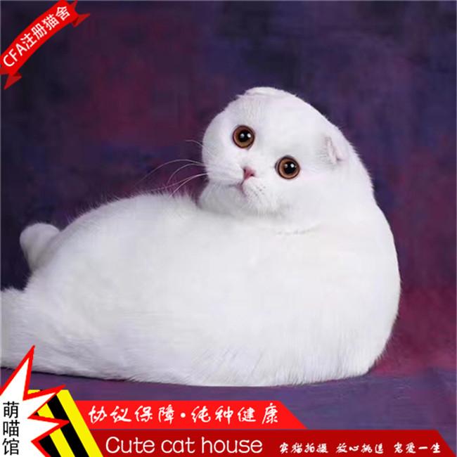 折耳猫宠物活体虎斑纹圆脸美短折耳苏格兰折耳猫