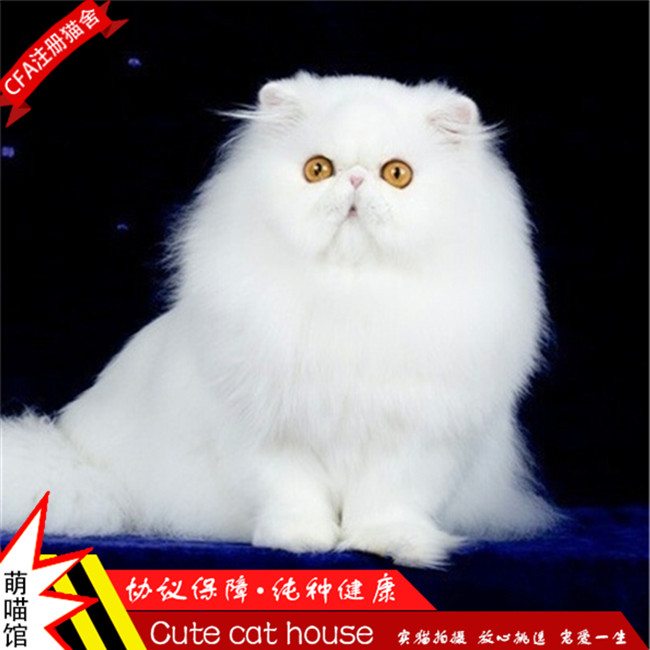 波斯猫活体幼猫宠物猫异国短毛猫加菲猫纯白长毛猫纯种布偶猫