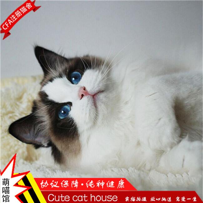 猫舍出售家养布偶猫仙女猫活体纯种健康仙女猫