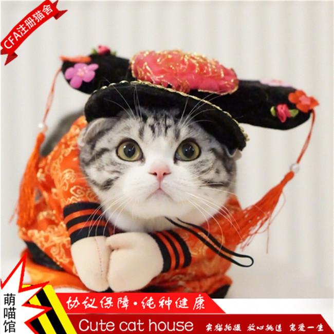 美国短毛猫家养美短加白起司猫活体纯种美短银虎斑幼猫健康