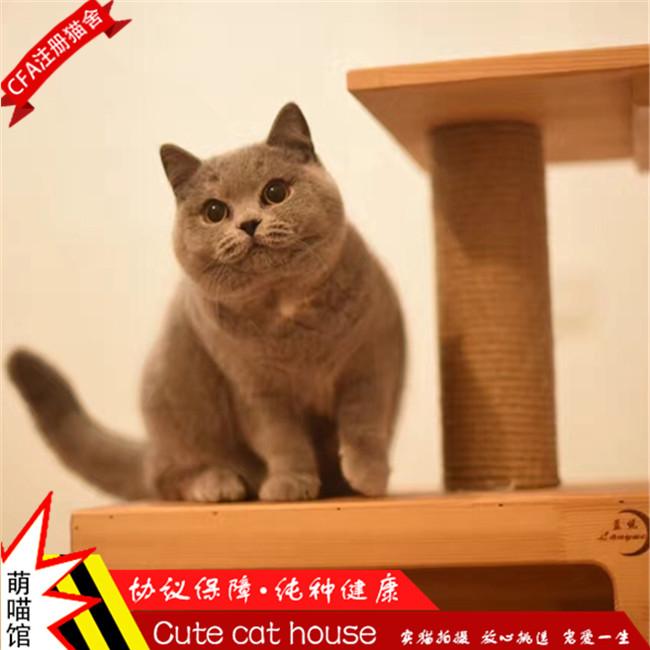 英国短毛猫纯种蓝猫宠物活体发财猫英短幼猫深蓝色波斯猫小猫家