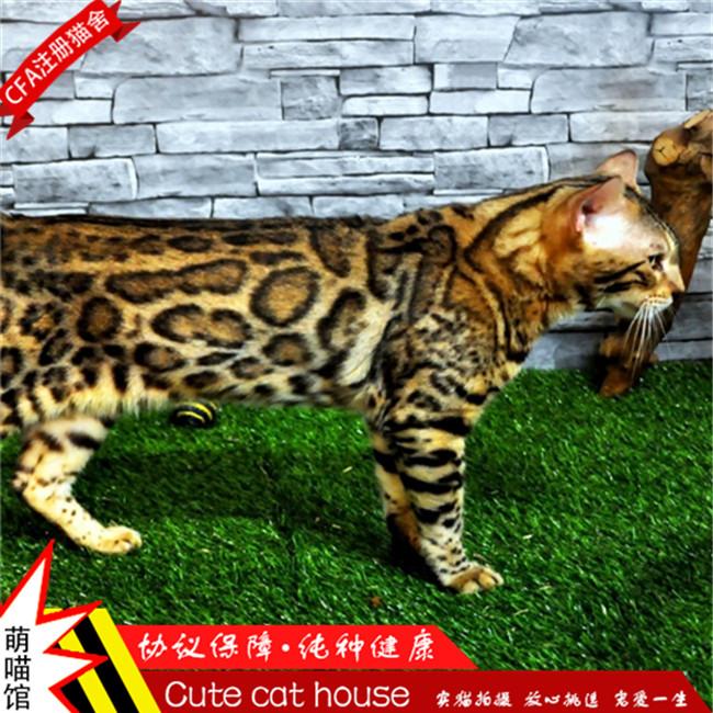 豹猫活体孟加拉豹猫豹猫幼猫玫瑰纹豹猫铲屎公社CFA注册猫舍