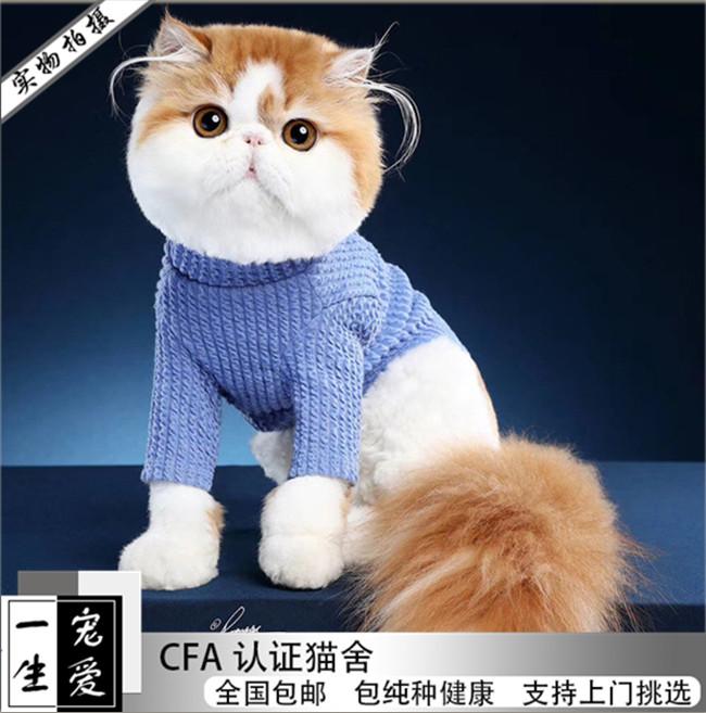 奶牛加菲猫宠物猫咪活体幼崽幼猫纯种可爱异国短毛猫