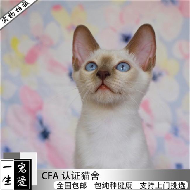 巧克力重点暹罗猫泰国猫暹罗猫活体淡紫色宠物小猫咪幼猫海豹蓝