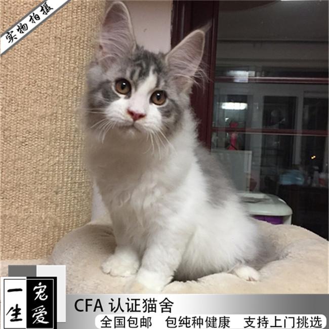 专业繁育缅因猫宠物猫活体出售宠物猫品种全有可上门可以送货