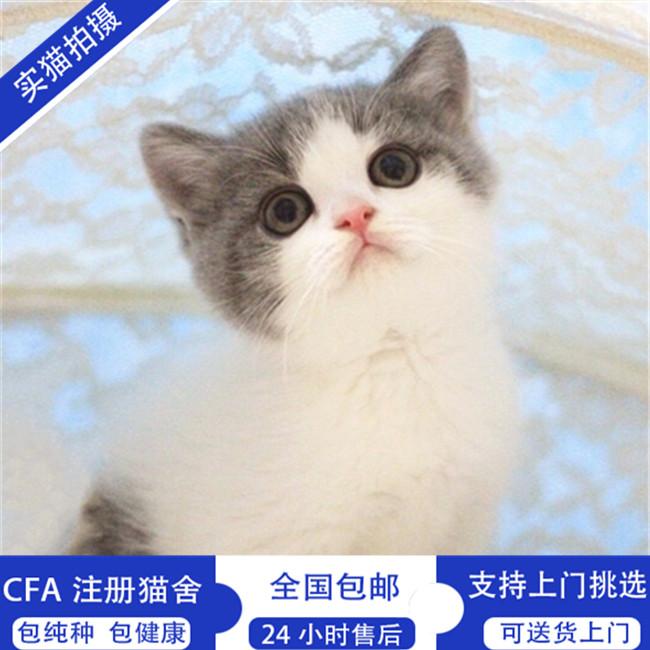 矮脚猫活体纯种拿破仑幼猫宠物猫CFA认证矮脚猫猫崽小短腿可