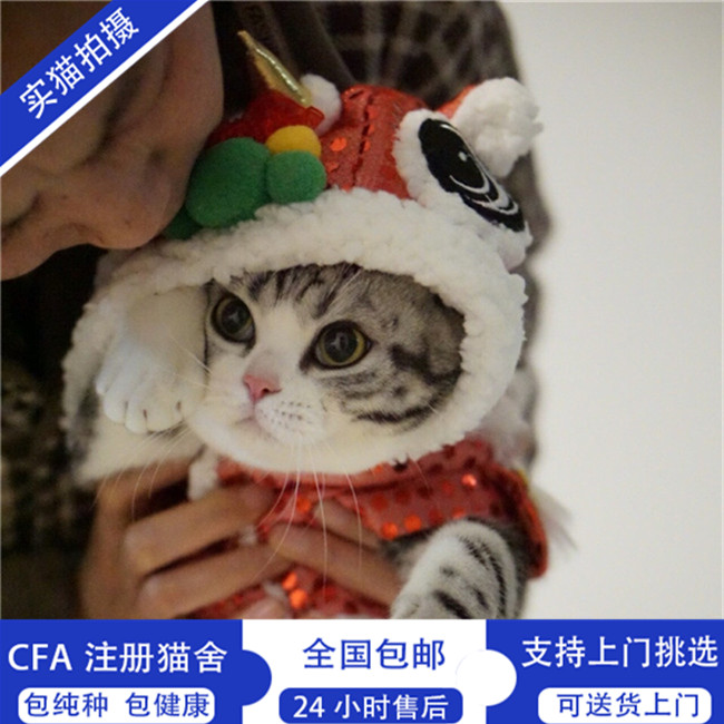 美国短毛猫纯种起司幼猫活体家养银虎斑美短加白活体出售健康