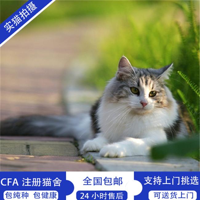 缅因猫纯白异瞳猫咪缅因库恩猫活体稀有色仙女猫家养猫宠物猫