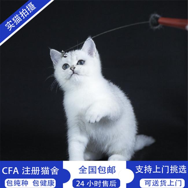 现货出售宠物猫活体上百只猫咪供应挑选