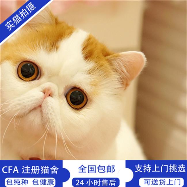 加菲猫活体纯种红白净梵幼崽异国短毛猫加菲猫幼猫