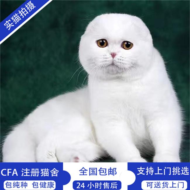 出售苏格兰折耳猫英短折耳小猫实体猫舍活体幼猫纯种猫咪家养