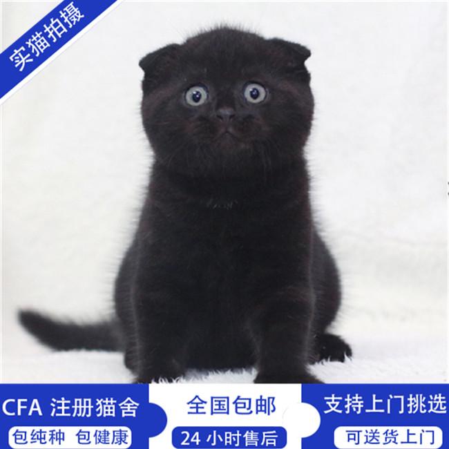 出售赛级苏格兰折耳猫英短折耳cfa猫舍活体幼猫纯种猫咪家养