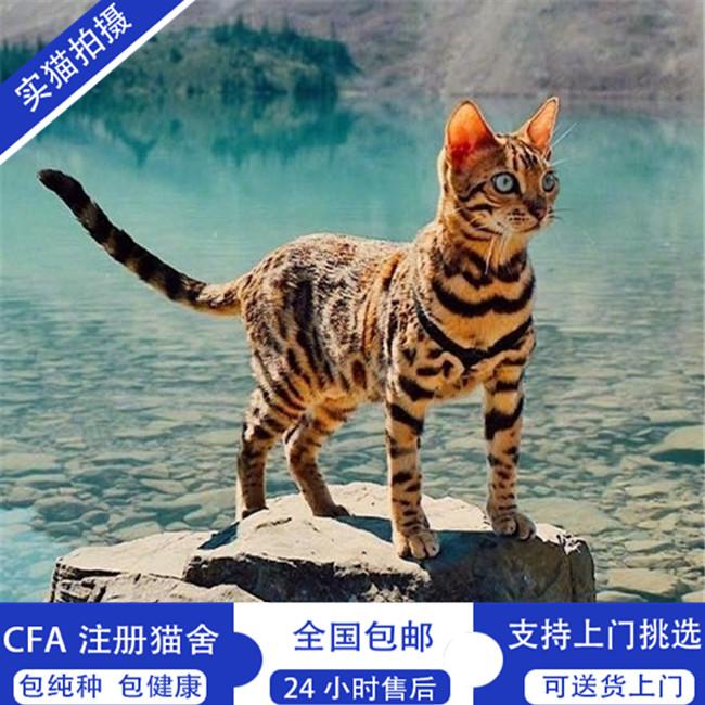 出售孟加拉豹猫活体幼猫虎斑豹纹猫咪金钱豹黄金豹猫纯种健康