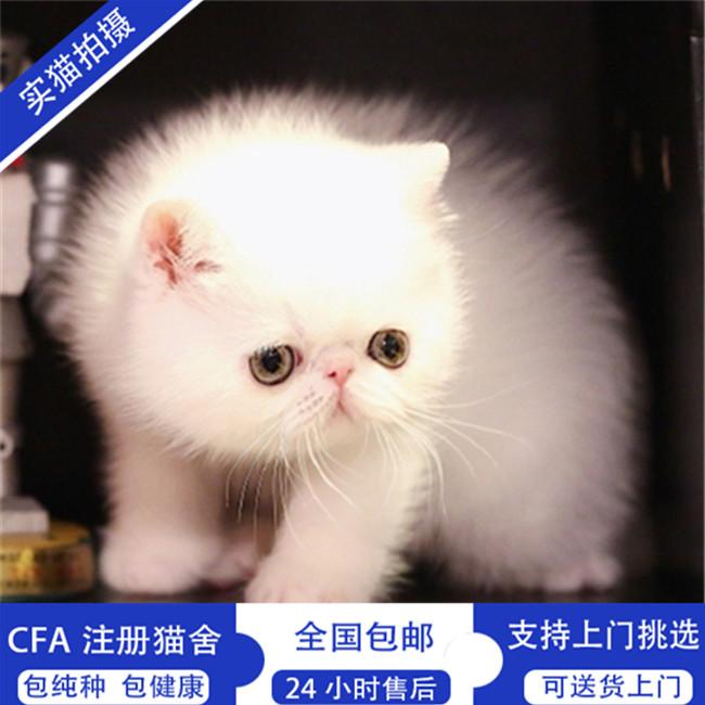加菲猫活体宠物猫纯种异国短毛猫加菲幼崽小奶猫家养小猫咪