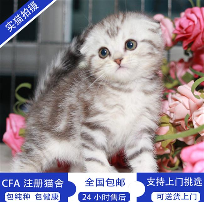 苏格兰折耳猫活体宠物猫纯种折耳幼猫宠物猫活体美短折耳英短折