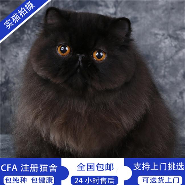 加菲猫幼猫活体宠物猫纯白蓝眼预售异国短毛猫波斯猫幼崽包邮
