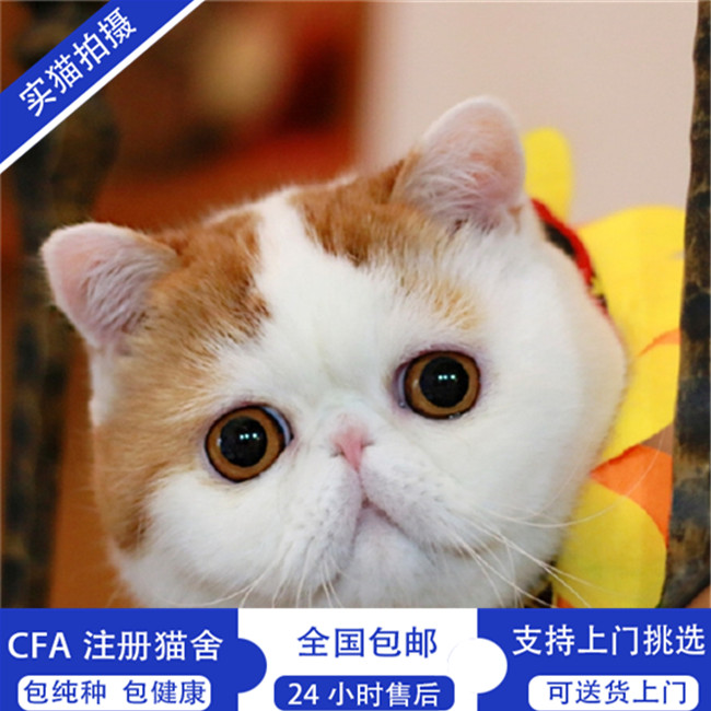 我要买猫 加菲猫 南充加菲猫  价钱 3000元 品种 加菲猫 性别 公母全