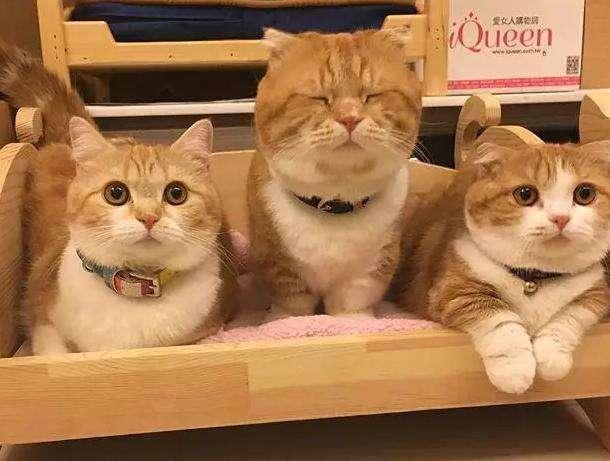 精品中华田园猫 幼崽田园猫 可以送货上门CFA认证