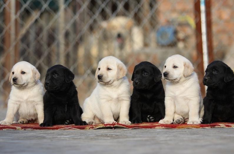 成都犬舍 极品拉布拉多幼犬 会上厕所以驯养 质保终身1