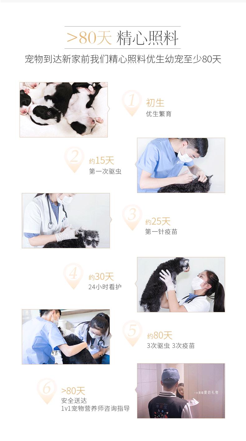 成都犬舍 精品萨摩耶幼犬 会上厕所以驯养 质保终身8
