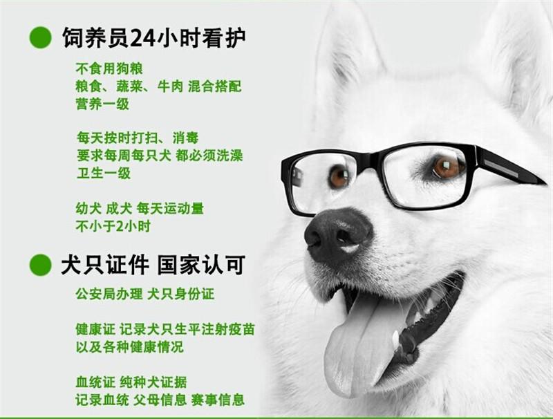 成都犬舍 精品萨摩耶幼犬 会上厕所以驯养 质保终身9