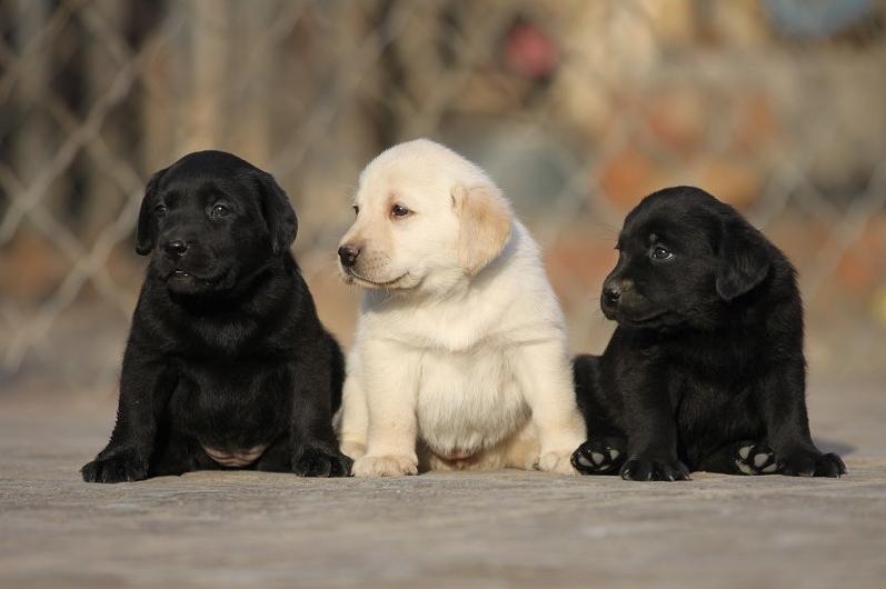 成都犬舍 极品拉布拉多幼犬 会上厕所以驯养 质保终身2