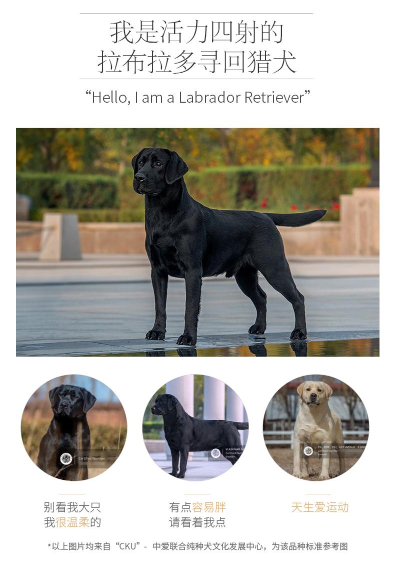 成都犬舍 极品拉布拉多幼犬 会上厕所以驯养 质保终身5