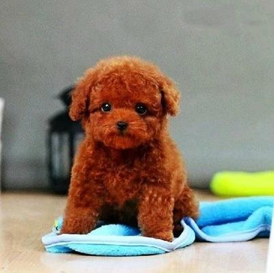成都犬舍 灰色,红色泰迪贵宾犬 会上厕所以驯养 质保终身2