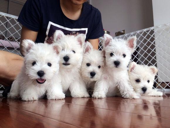 精品西高地幼犬 品相极佳 骨骼粗壮毛色好 价格美丽