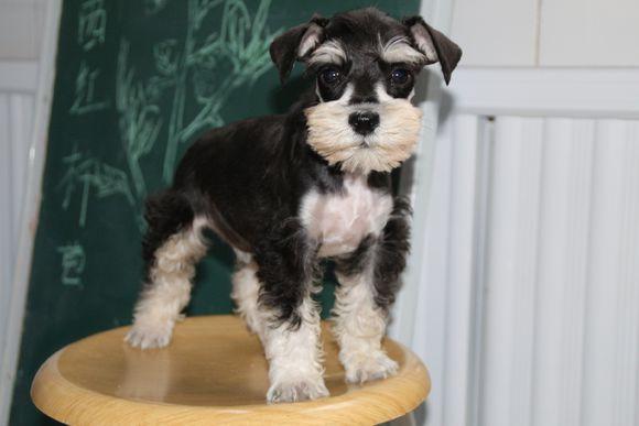 买纯种雪纳瑞幼犬  保纯保健康种公配种  送狗上门