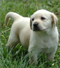 长期出售各种宠物狗