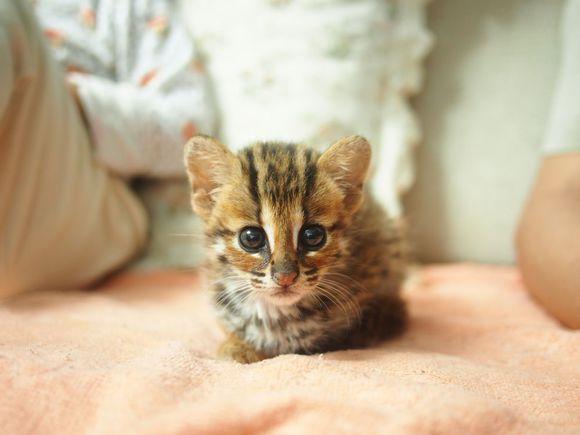 猫舍直销纯种家养幼猫英美短 孟加拉 布偶 金吉拉等