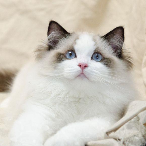 正规猫舍专业繁殖售精品纯血布偶海双蓝双齐全 可上门