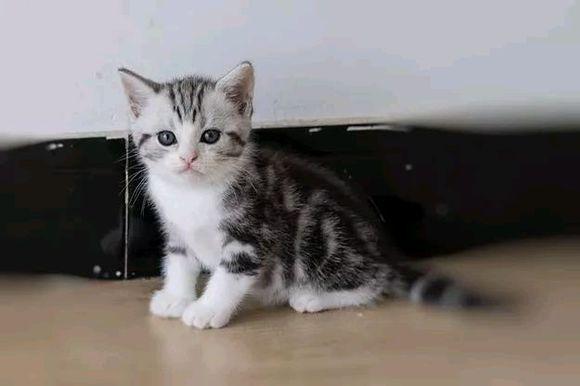 出售纯种美短标版起司猫 疫苗已做 包纯种健康包售后
