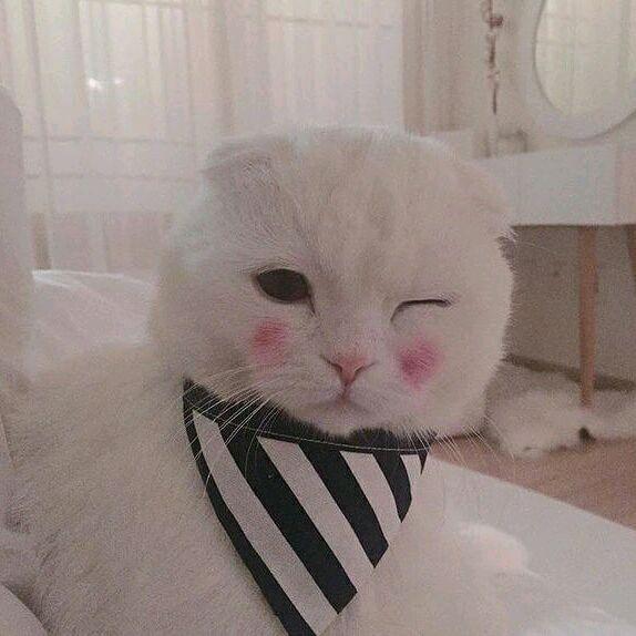 猫舍专业繁殖出售苏格兰折耳猫 高地折耳猫 疫苗已做