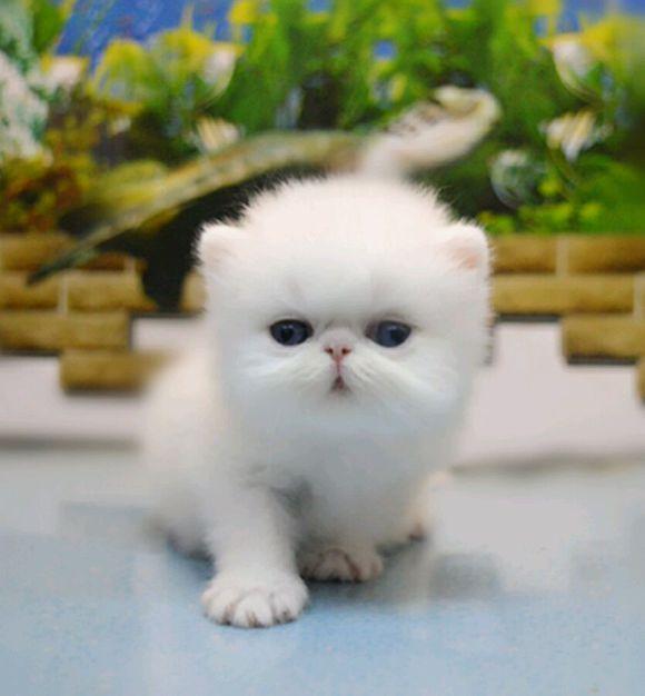 猫舍出售纯种波斯猫 无病 无癣协议质保欢迎选购