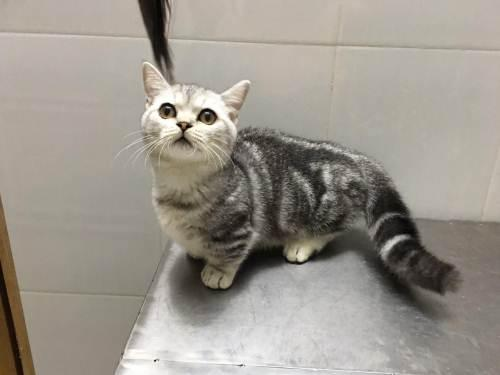 曼基康猫专业繁殖、官网推荐、终身质保