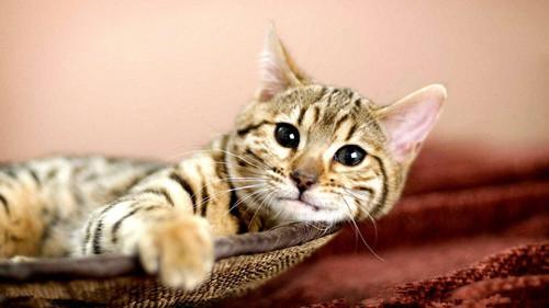 专业中华田园猫繁殖、官网推荐猫舍、终身质保
