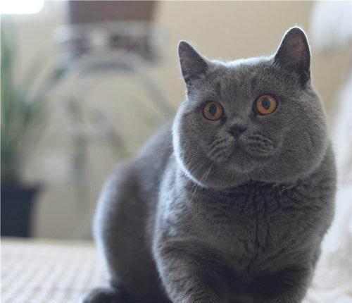权威机构认证猫舍、专业蓝猫繁殖、完美售后