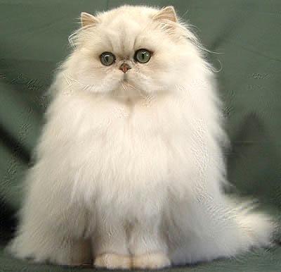 顶级金吉拉猫 保纯种健康 官网推荐猫舍 终身质保