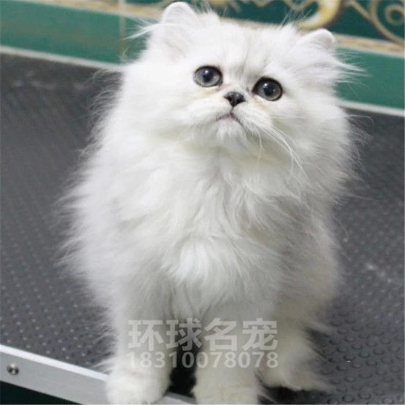 纯种活体蓝白折耳宠物猫咪加菲渐层布偶金吉拉暹罗猫活体