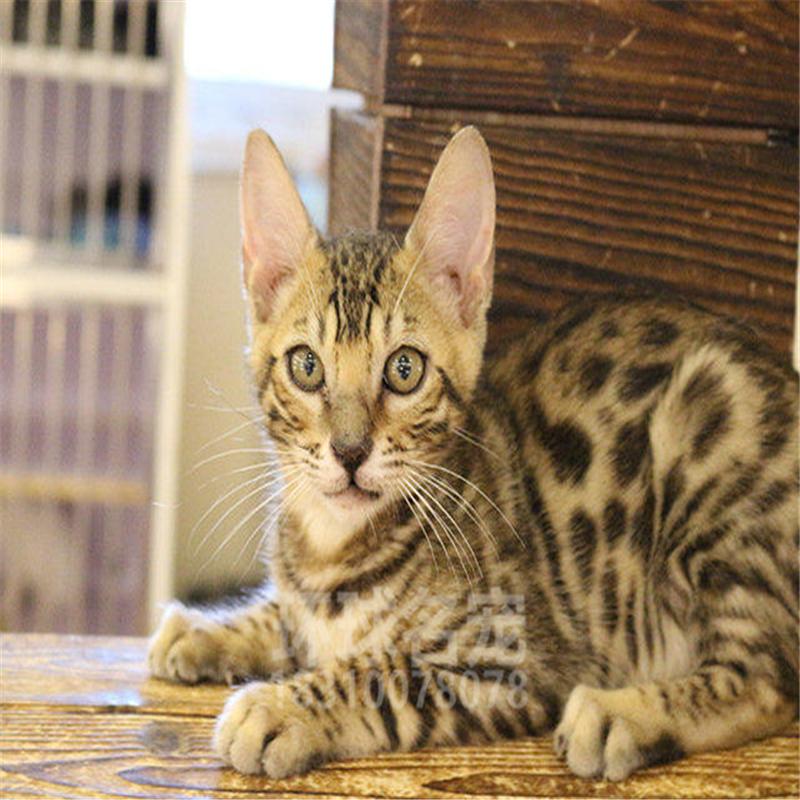 豹猫活体孟加拉幼猫宠物猫纯种猫缅因猫加菲波斯