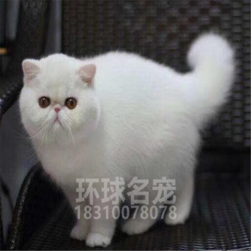 加菲猫活体幼猫纯种宠物异国短毛猫家养水滴眼大脸猫