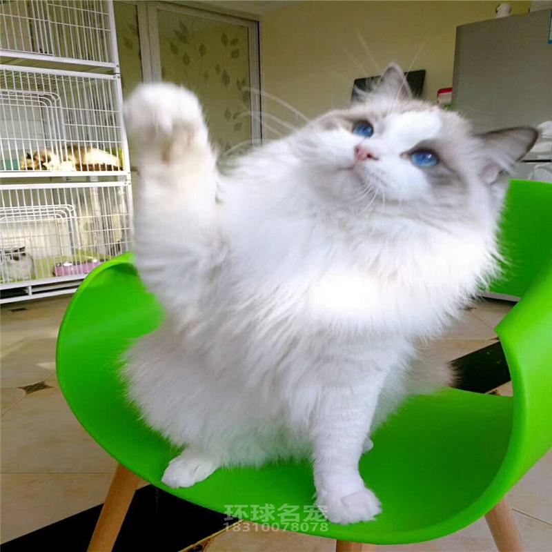 赛级布偶猫活体幼猫纯种布拉多尔猫舍猫咪活体