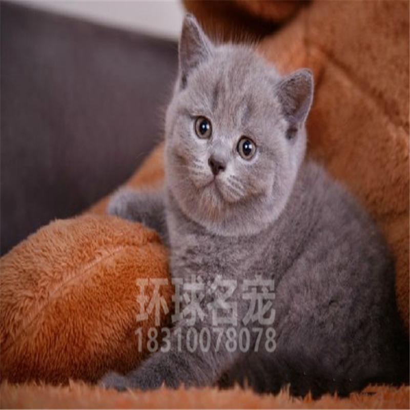 纯种蓝猫幼猫宠物猫咪活体暹罗英国短毛猫蓝白渐层猫
