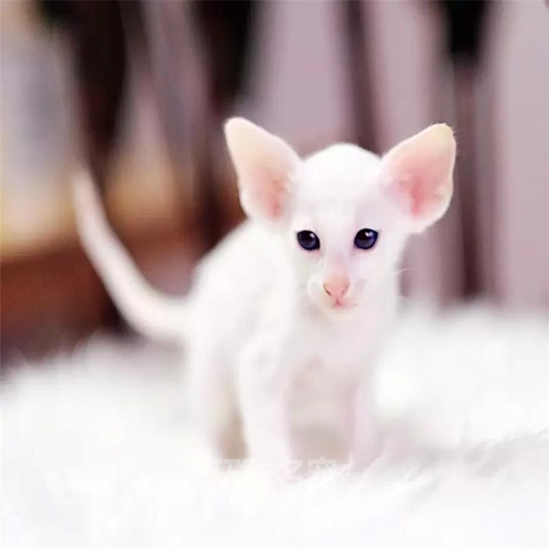 无毛猫活体宠物猫斯芬克斯白皮蓝眼猫咪纯蓝斯芬克斯卷耳猫