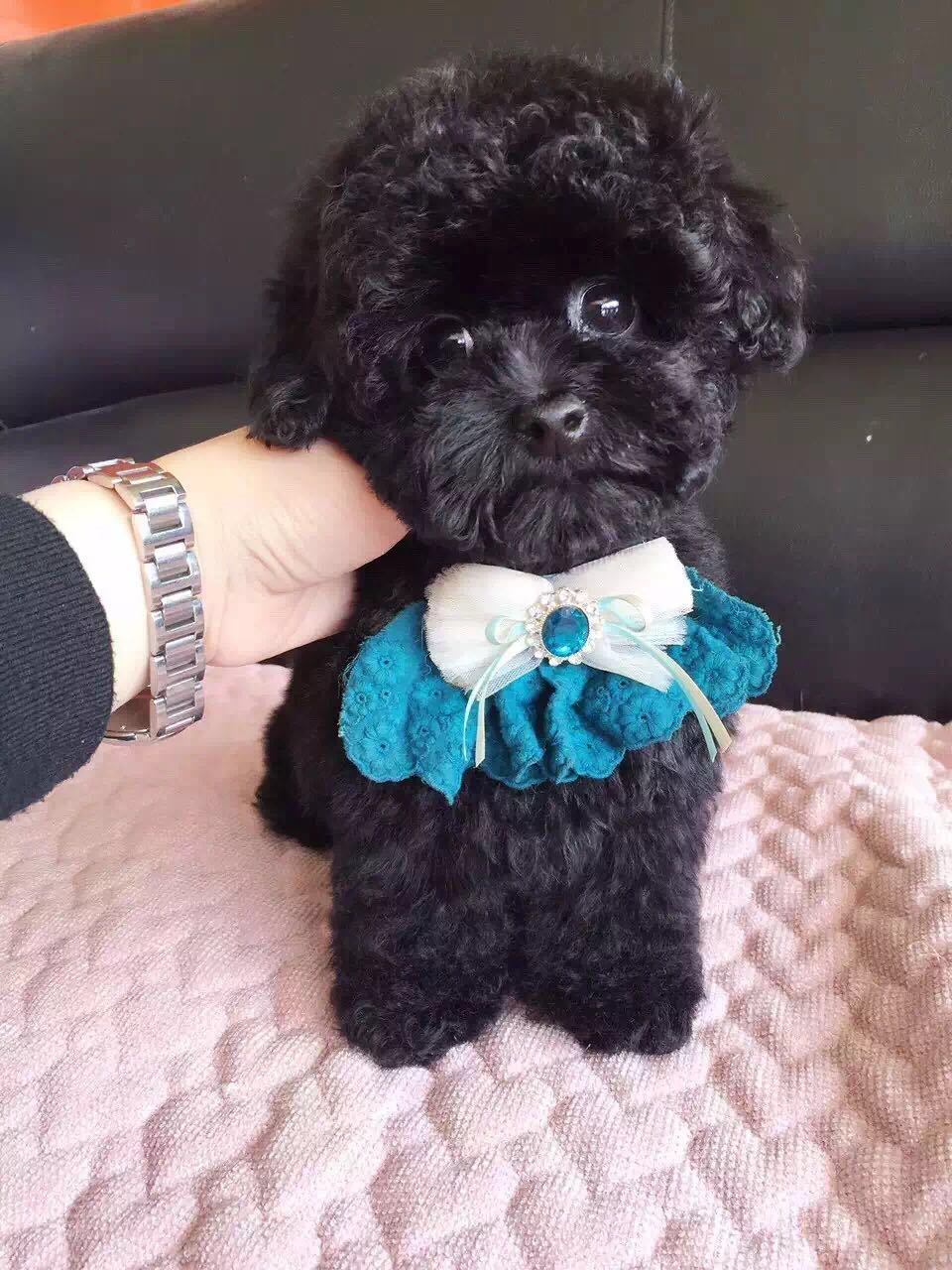 卷毛纯种泰迪犬宝宝出售 血统豪华 韩系引进精品种犬2