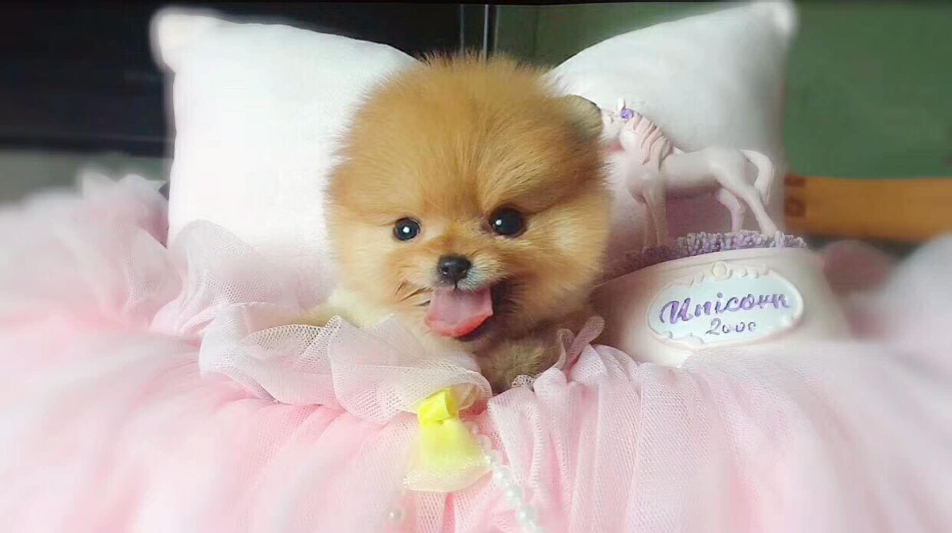 女神最受喜欢的 网红犬俊介宝宝出售7