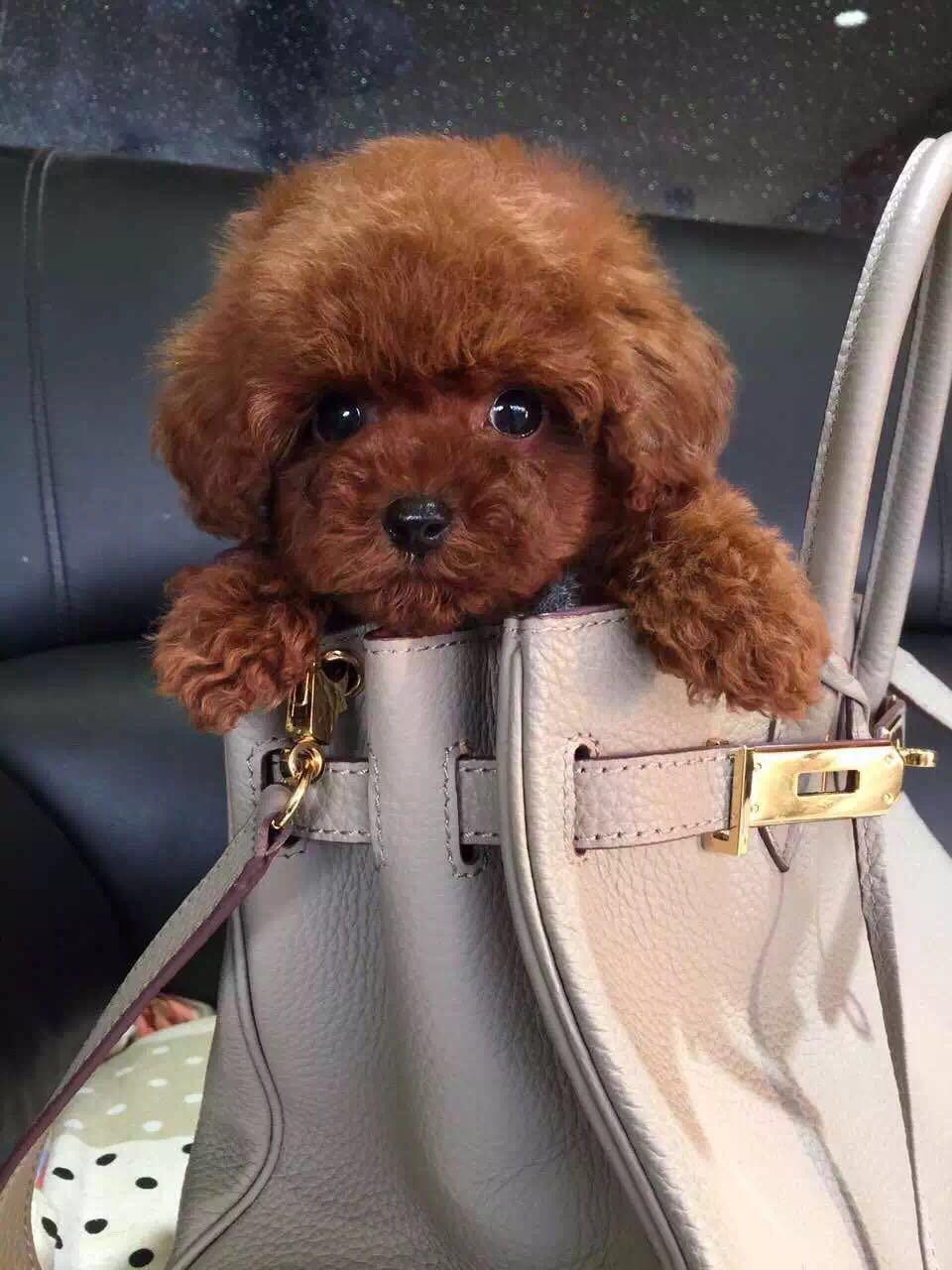 卷毛纯种泰迪犬宝宝出售 血统豪华 韩系引进精品种犬6